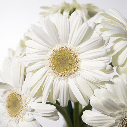 Bone white mini gerbera daisy DIY wedding flowers