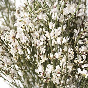 White ginestra DIY wedding flower