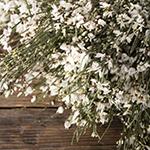 White ginestra wholesale wedding flowers