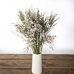 White ginestra bulk wedding flowers