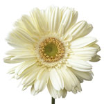 Gerbera Daisy White Grizzle Flower Up close