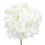 White Hydrangea Wholesale Flowers FlatLay