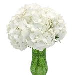White Hydrangea Flowers Up Close