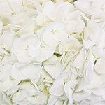 White Hydrangea Wholesale Flower Up Close