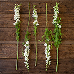 White Larkspur Bulk Flower