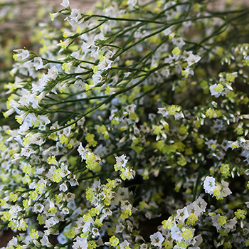 White Limonium Flowers