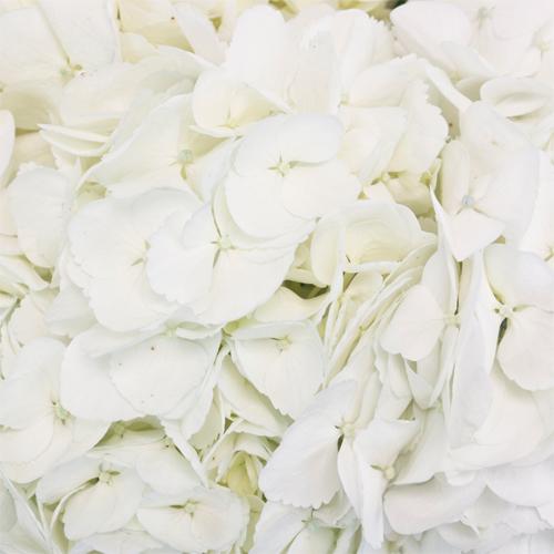 White Medellin Hydrangea Wholesale Flower Up close