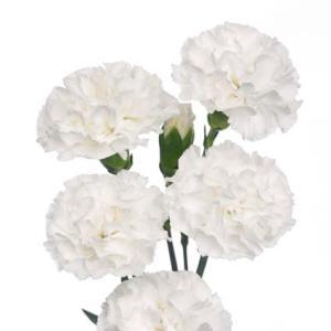 White Mini Carnation Flowers Up Close
