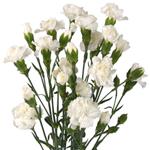 White Mini Carnations side stem