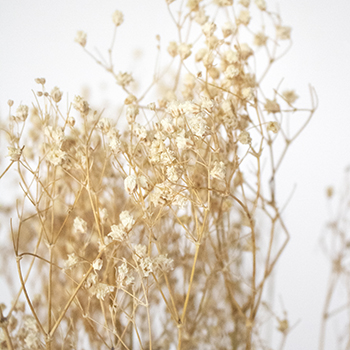 Canyon Dreams Natural Bleached Gypsophila