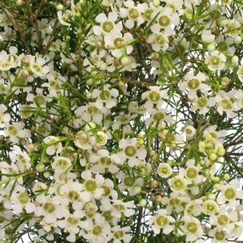 beautiful dogwood branches in large glass vase beautiful.htm white wax flower fiftyflowers com  white wax flower fiftyflowers com