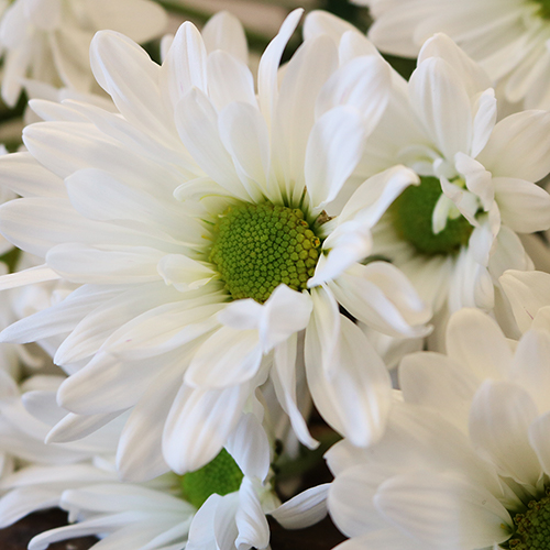 White daisy pom DIY wedding flowers