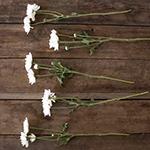 White pom bulk flowers