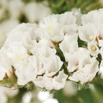 blush white fresh wildflower statice