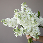 White_Stock_Flower