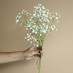 Baby's Breath White Wholesale Flower Stem