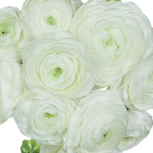 White Ranunculus Fresh Cut Flower