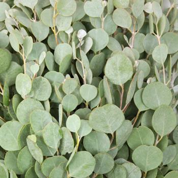 Gum Drop Eucalyptus Greenery Up Close