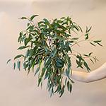 Baby Eucalyptus Greenery Fresh