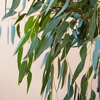 Willow Eucalyptus Wholesale Greenery Up Close