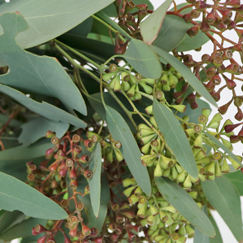 Willow Seeded Eucalyptus Wholesale Greenery Up Close