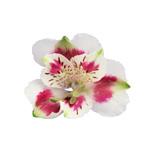 Wine White alstroemeria Wholesale Bloom
