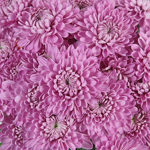 Pink Lavender Frost Dahlia Style Flower