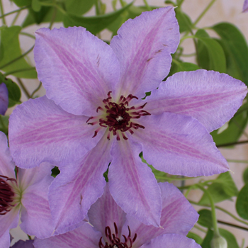Wisps of Wisteria Clematis Flower