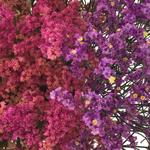 Wispy Filler Pink Purple up close