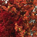 Wispy Filler Red and Orange up close