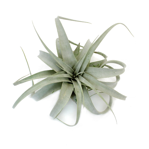 Xerographica Tillandsia Wedding Air Plants