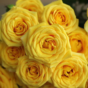 Yellow Babe Spray Roses up close