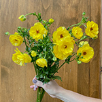 Yellow Ranunculus Bulk Flower