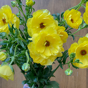 Butterfly Ranunculus Flower Yellow
