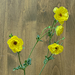 Butterfly Ranunculus Yellow Flowers