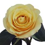 Yellow Butterscotch Fresh Cut Roses up close