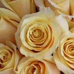 Yellow Butterscotch Fresh Cut Roses up close