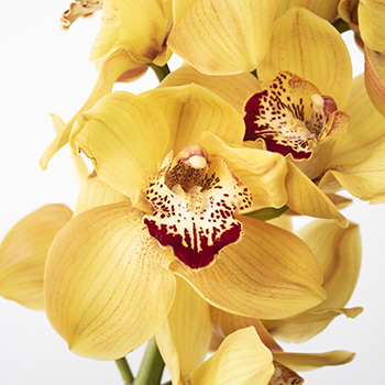 Yellow Cymbidium Orchids Overnight