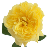 bright yellow garden rose bloom with ruffled petals