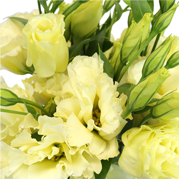 Champagne Designer Lisianthus Flower for October to May Delivery