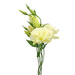 Yellow Bulk Lisianthus Flowers