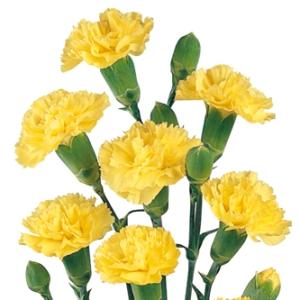 Yellow Mini Carnation Flowers Up Close