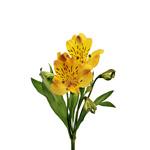 Yellow Peach alstroemeria Wholesale Flower Stem
