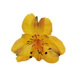 Yellow Peach alstroemeria Wholesale Bloom