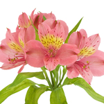 Yellow and Pink alstroemeria Wholesale Flower stem