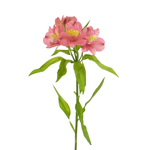 Yellow and Pink alstroemeria Wholesale Flower side Stem
