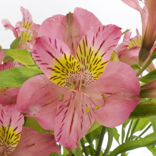 Yellow and Pink alstroemeria Wholesale Flower Upclose
