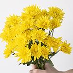 Yellow pom wholesale wedding flowers