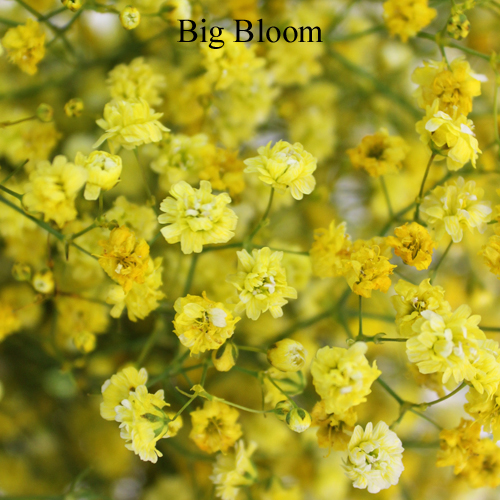 Yellow Airbrushed Baby's Breath