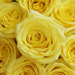 Yellow Stardust Roses up Close